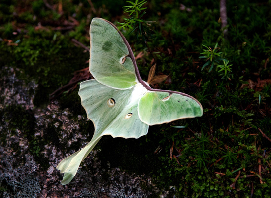 art prints - Lunar Moth by Heather Fuller