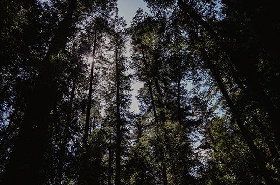 art prints - Redwoods by Kelsey Elliott