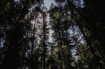 Redwoods by Kelsey Elliott