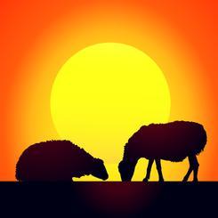 Sheep & Sunset