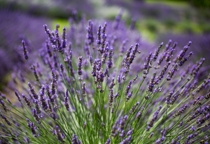 art prints - Forever Lavender by Janet Cruz