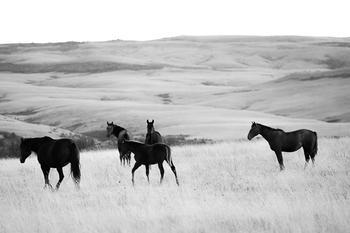 Big Horn Wild Horses