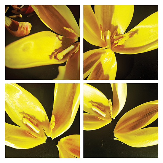art prints - Yellow tulip in four angles by de Villiers Home Art
