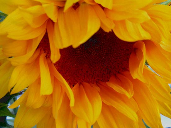 art prints - Gazing Sunflower by Patricia Quon