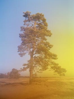 Tree (Hoge Veluwe National Park)