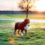 Golden Hour Doggo by Brittnee Snodgrass