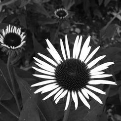 White Barn Cone Flower