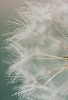 Dandelion (1 of 2)