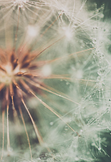 art prints - Dandelion (2 of 2) by Helen Makadia Photography