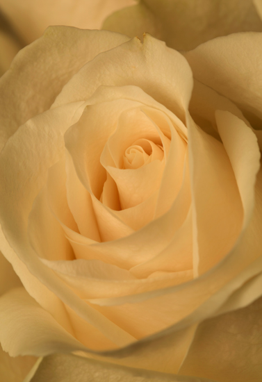 art prints - Elegance of a rose by Artichroma Designs