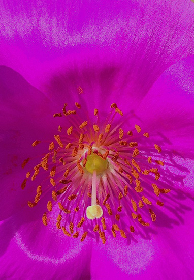 art prints - Pretty Pink Rock Purslane by Patricia Quon