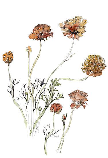 art prints - Orange ranunculus, study by Sonya Percival