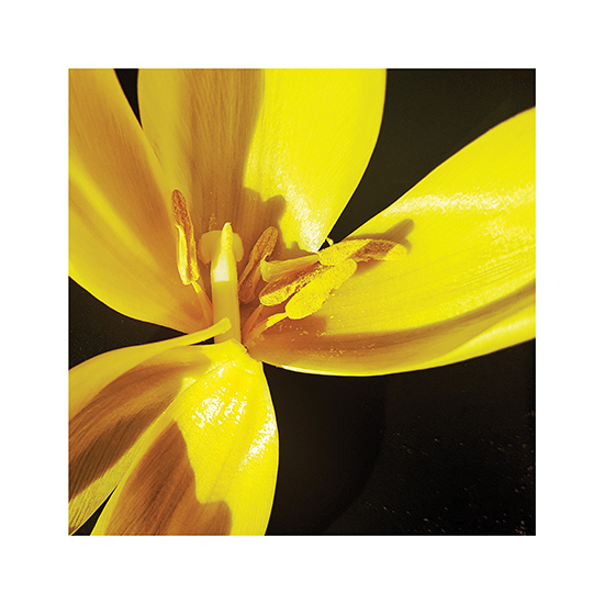art prints - Yellow tulip by de Villiers Home Art