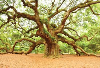 green Oak 2