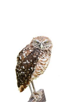 Owl on a hunt