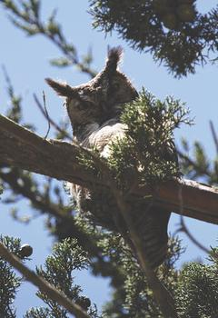 Great horned, indeed