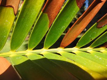 Huntington_Palm Frond