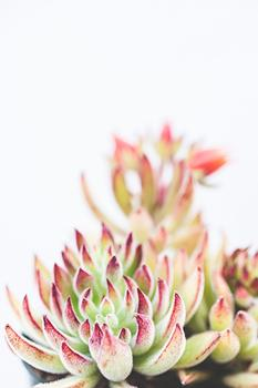 Velvet Chenille Succulent