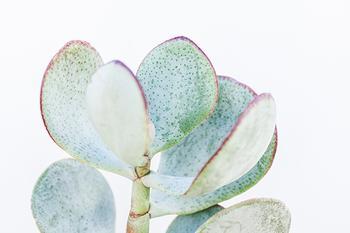 Silver Dollar Succulent
