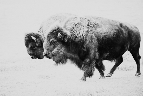 art prints - Where the Buffalo Roam by Janet Cruz