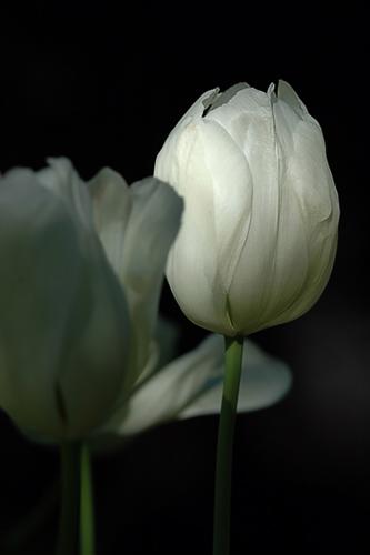 art prints - White Tulip by Von Sides