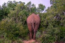 Elephant hiding by Brad Rhodes