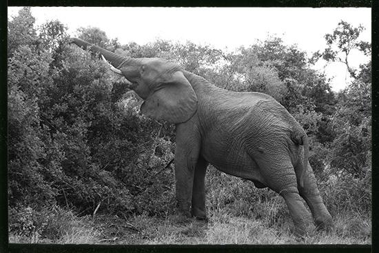 art prints - Elephant reaching by Brad Rhodes