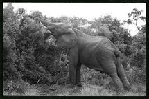 Elephant reaching by Brad Rhodes
