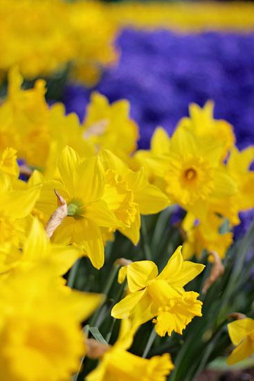 art prints - Bold Like a Daffodil by Ashley Daley