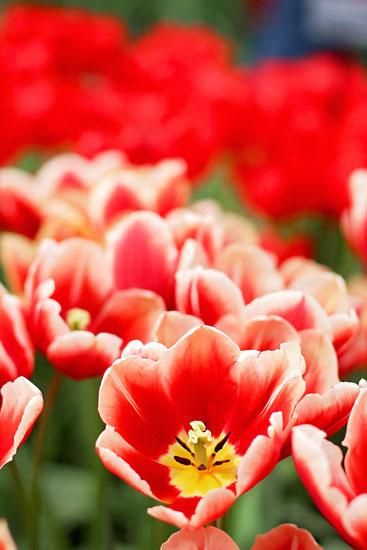 art prints - Keukenhof Tulips by Ashley Daley