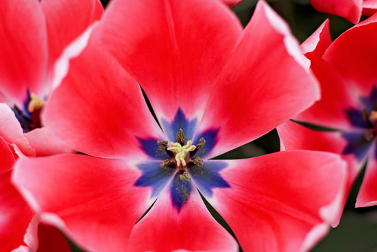 art prints - Up Close with a Tulip by Ashley Daley