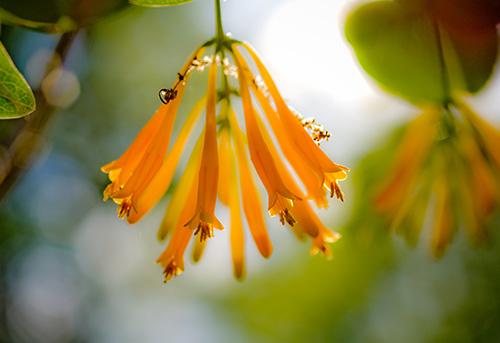 art prints - Orange Honeysuckle by Lee Dunnie