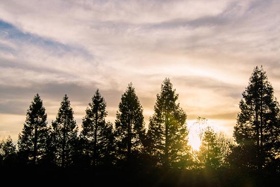 art prints - Sonoma Treeline by Brad Rhodes