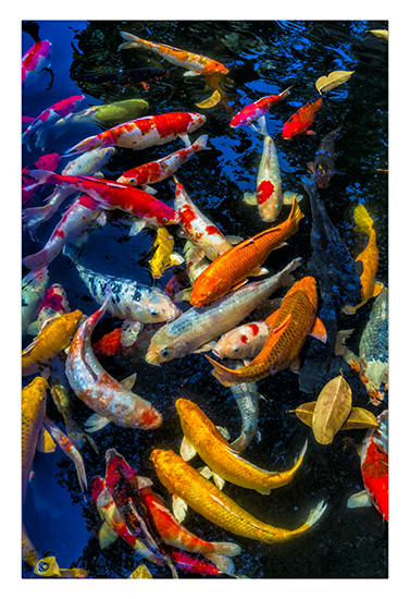 art prints - The Beauty of Koi 1 by Leslie Ware