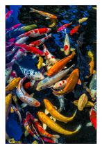 The Beauty of Koi 1 by Leslie Ware