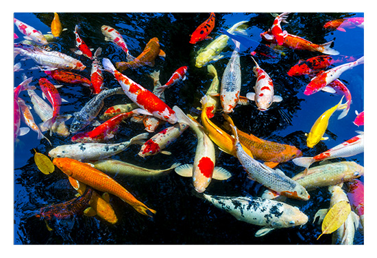 art prints - The Beauty of Koi 2 by Leslie Ware