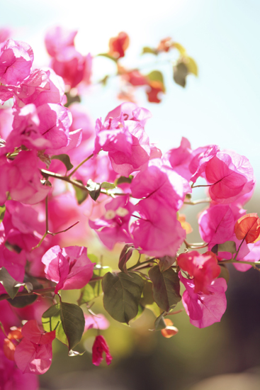 art prints - Candy Bougainvillea