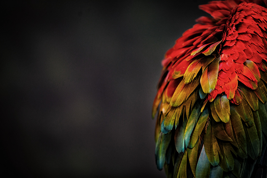 art prints - parrot study by Alicia Abla