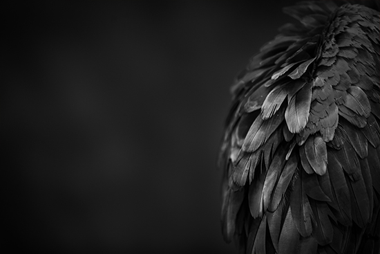 art prints - parrot study in B&W by Alicia Abla