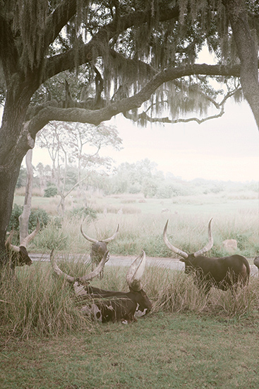 art prints - longhorns by Alicia Abla