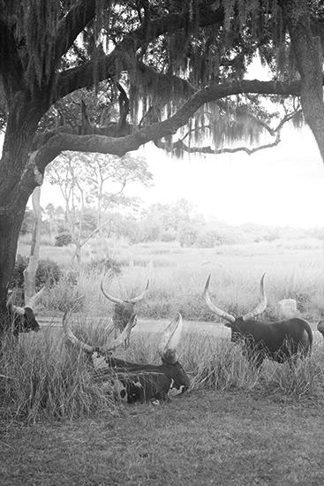 art prints - gathered longhorns in B&W by Alicia Abla