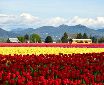 Tulips and the School Bus