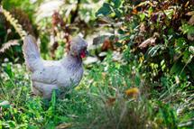 Running with the Hens by Janet Cruz