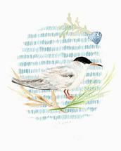 Seaside Tern by Melissa Hyatt