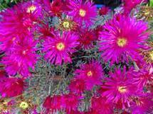 Dazzling Hot Pinks by Nancy Gold