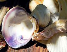 Atlantic Clam Shell by Ashley Slade Mast