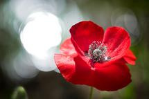 Poppy Bokeh by Lee Dunnie