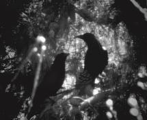 Lovebirds Bower, Monoch... by Aure