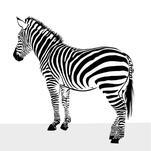 Zebra Drawing by Samiran Sarkar