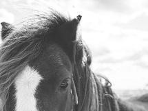 Rocky Mountain Horse by Alicia Abla